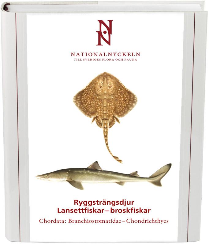 Ryggsträngsdjur: Lansettfiskar–broskfiskar
