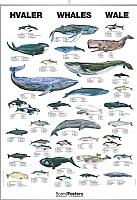 Hvaler og delfiner
