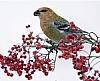 Fugleguide for Lofoten og Vesterålen