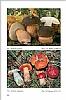 Fungi Europaei Vol. 2