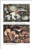 Fungi Europaei Vol. 3a