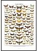Nattsommerfugler i Sverige, plakat